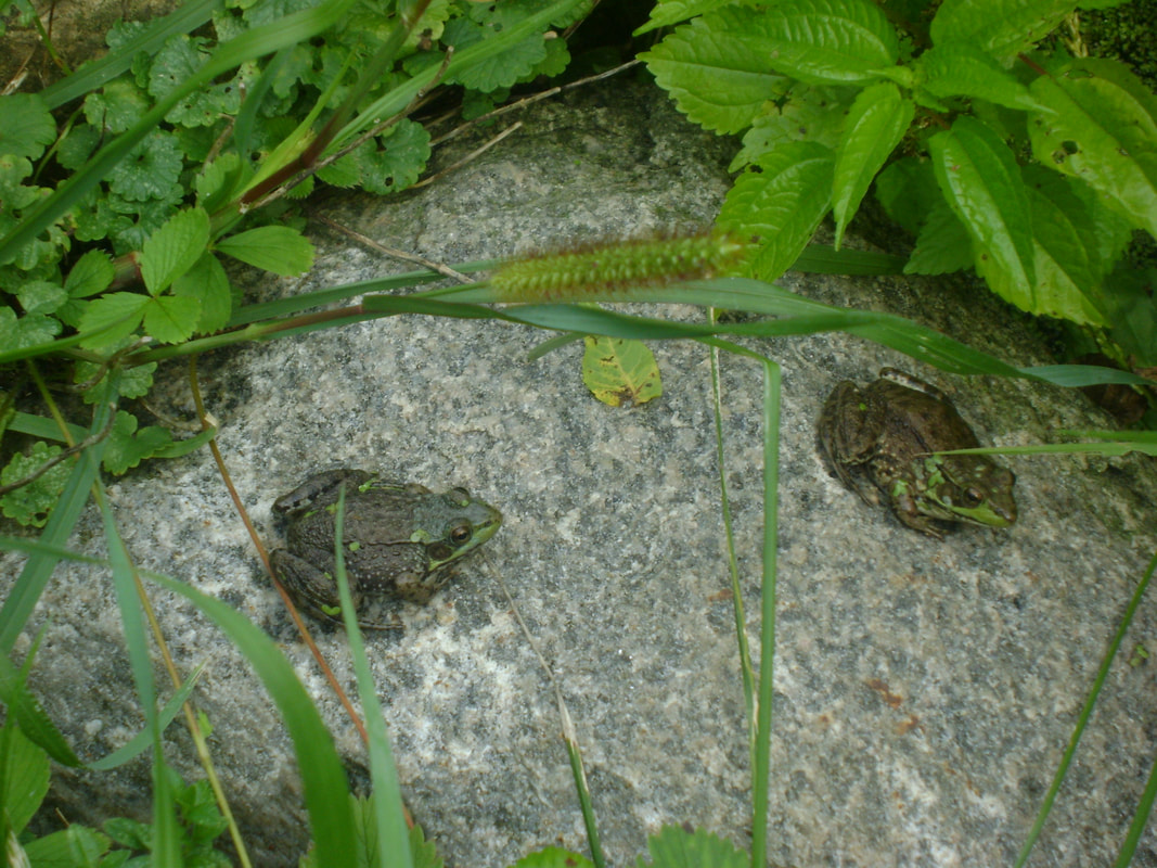 Northern Green Frogs